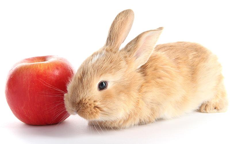 rabbit_apple_quote