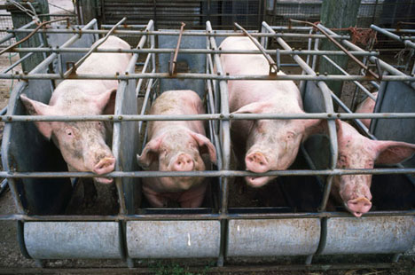 Suffering of pigs.